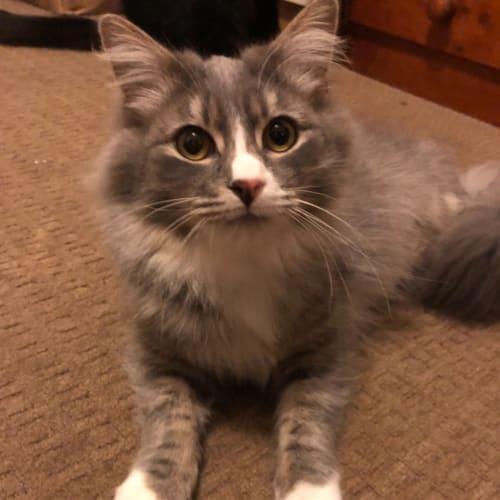 Fillin - Domestic Long Hair Cat