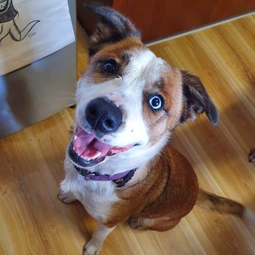 Sprocket - Border Collie x Staffy Dog