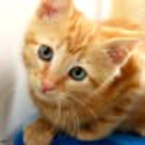 George NK3042 - Domestic Short Hair Cat