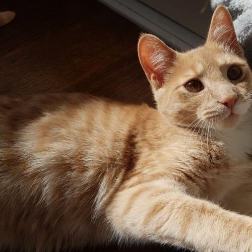 Loniel - Domestic Short Hair Cat