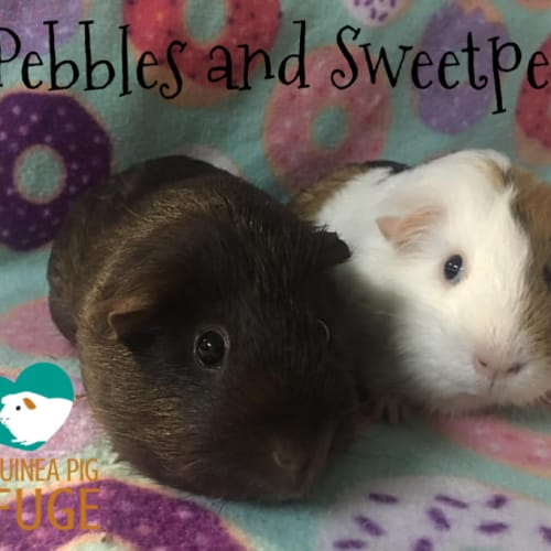 Pebbles and Sweetpea - Smooth Hair Guinea Pig