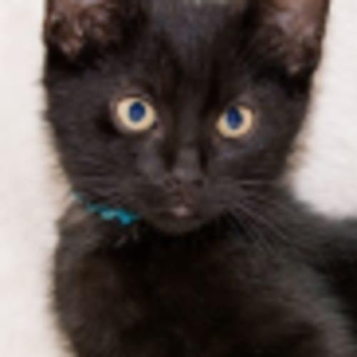 Bolt NK3044 - Domestic Short Hair Cat