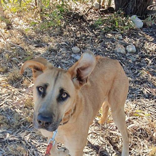 Alisha - Ridgeback Dog