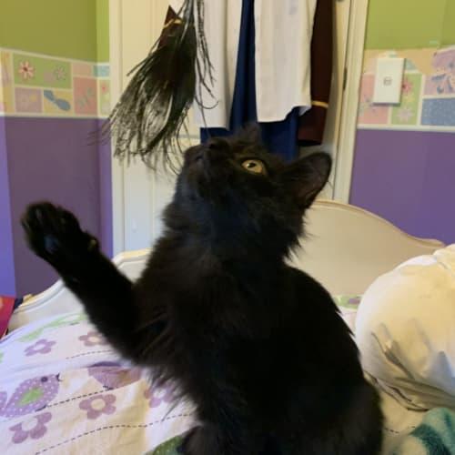 Minky - Cymric x Manx x Domestic Medium Hair Cat