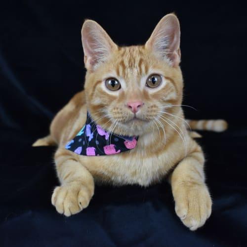 Fish - Domestic Short Hair Cat