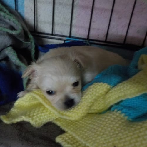 Meenie - Chihuahua x Pomeranian Dog