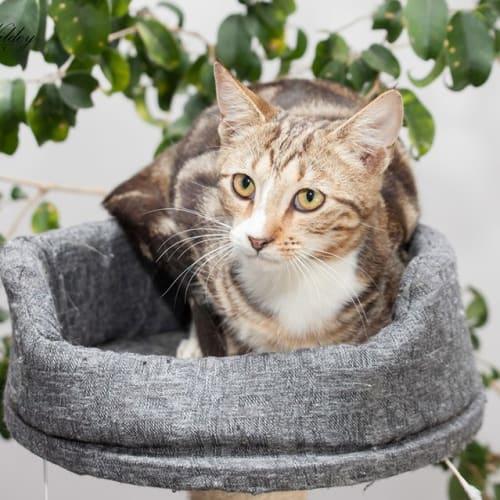 1050 - Herbie - Domestic Short Hair Cat