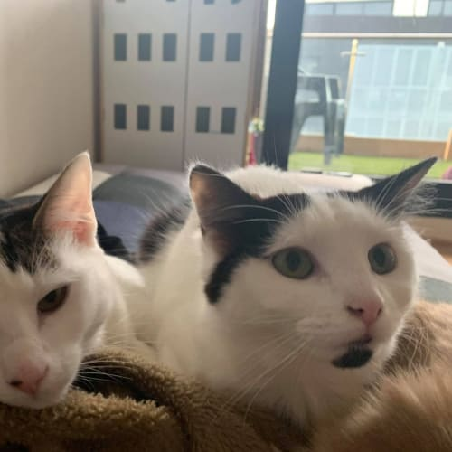 Lily & Pablo (Located in Cheltenham) - Domestic Short Hair Cat