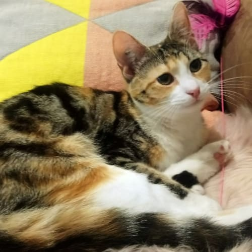 Zara (Located in Middle Park) - Domestic Short Hair Cat