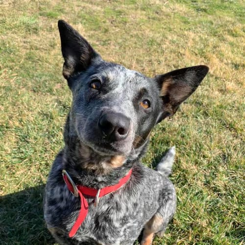 Roby - Australian Cattledog