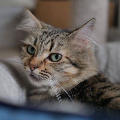 Olivia - Domestic Long Hair Cat