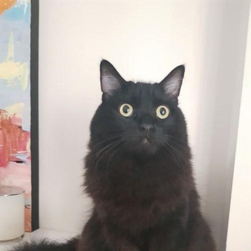 Luna - Ragdoll Cat
