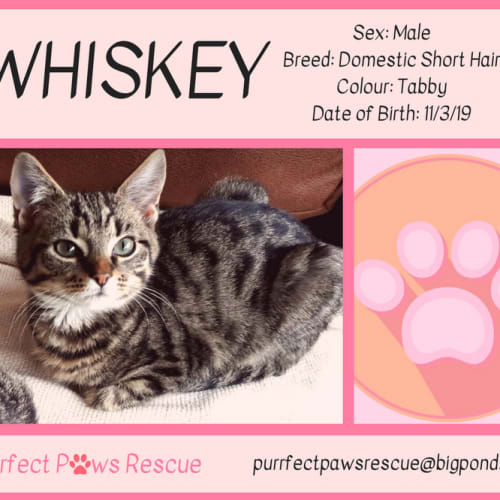 Whiskey - Domestic Short Hair Cat