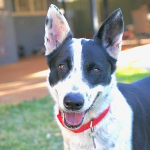 Annie - Border Collie x Kelpie Dog