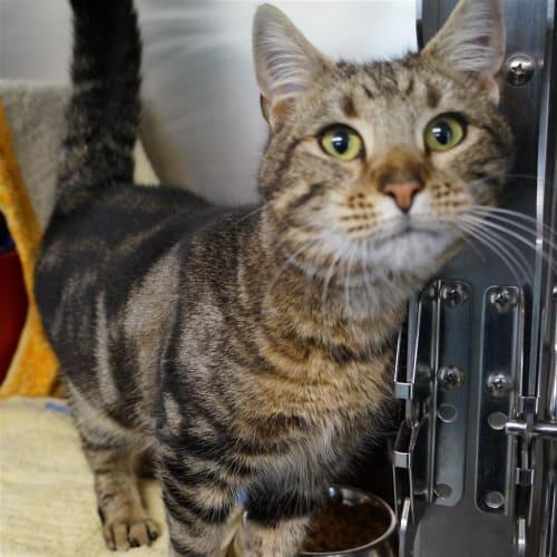 Neville - Domestic Short Hair Cat
