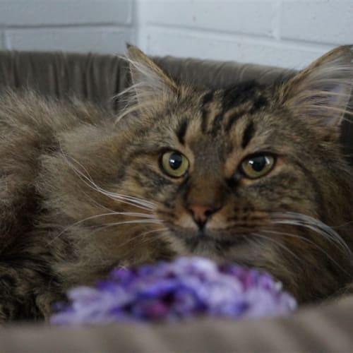 Quintin - Domestic Medium Hair Cat
