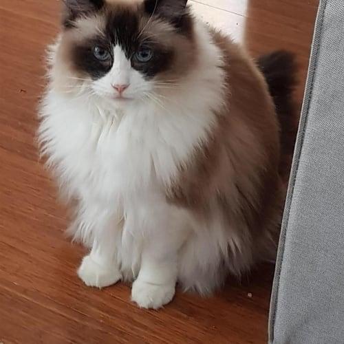 Kaira - Ragdoll Cat