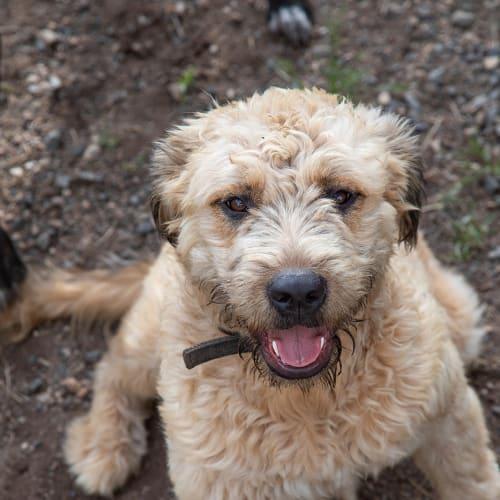 Ruby - Poodle x Labrador x Wolfhound Dog