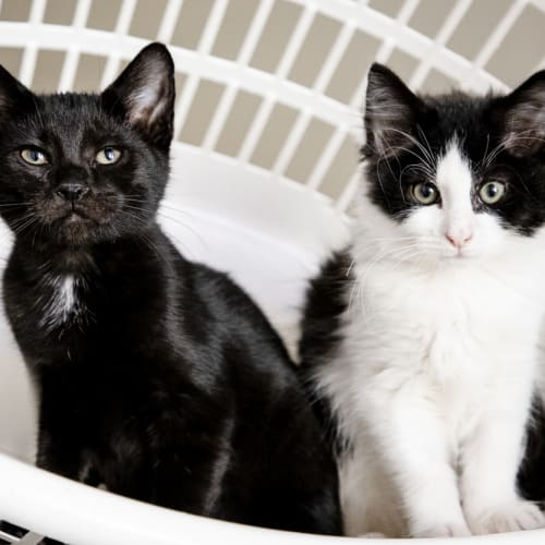 Onyx and Bandit - Domestic Short Hair Cat