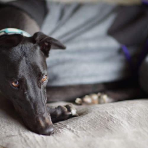 Clyde - Greyhound Dog
