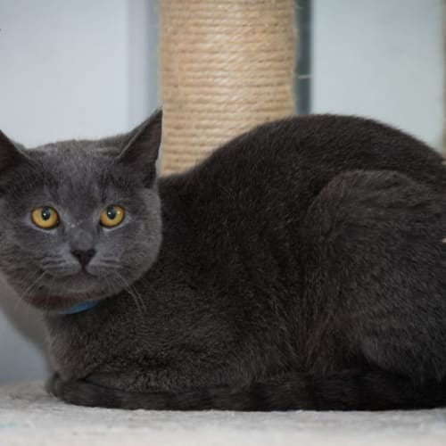 1182 - Salem - Domestic Short Hair Cat