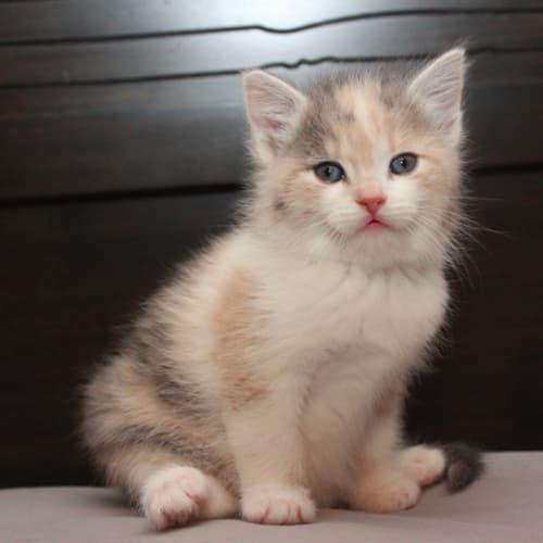 Breeze NK3039 - Domestic Short Hair Cat