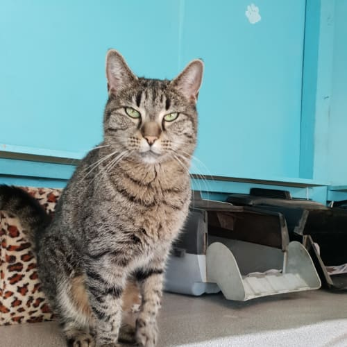 Gidgi - Domestic Short Hair Cat