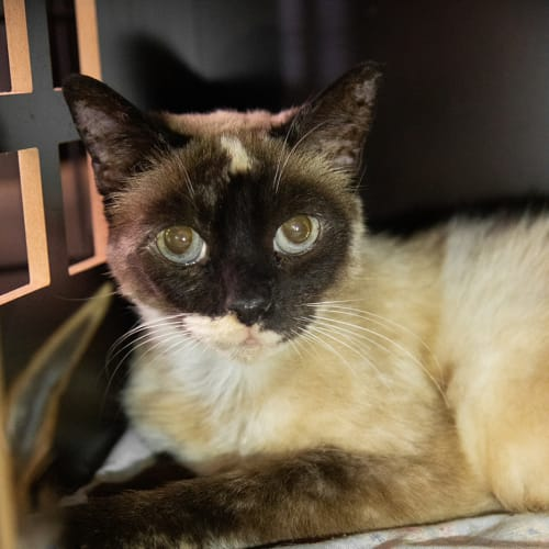 Kitty Kat - Burmese Cat