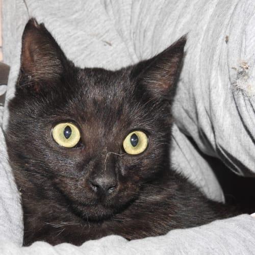 Osiris - Domestic Short Hair Cat
