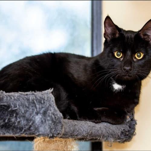 1049 - Vegemite - Domestic Short Hair Cat