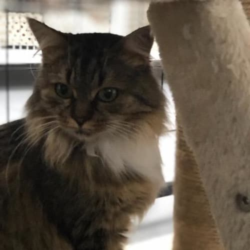 Pip - Domestic Long Hair Cat