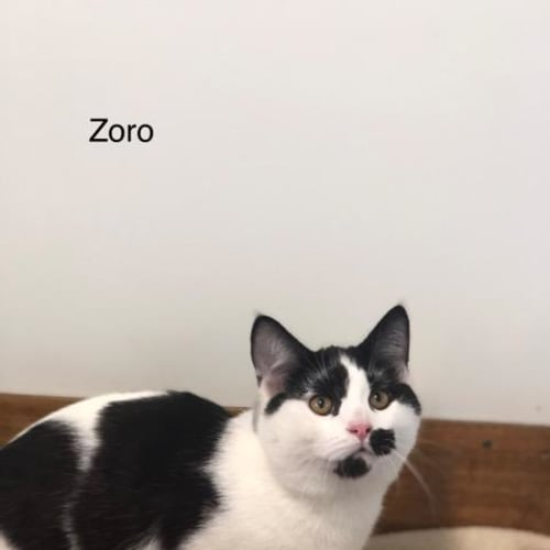 Zoro - Domestic Short Hair Cat