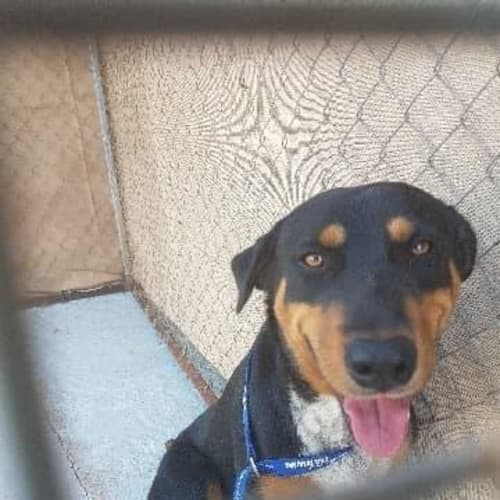 Archie - Border Collie Dog