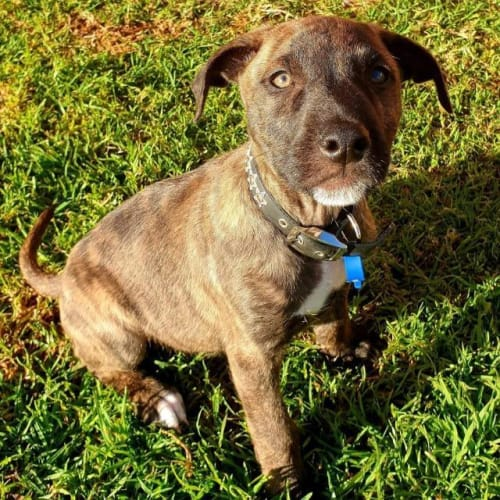Timon - Bullmastiff x Whippet Dog