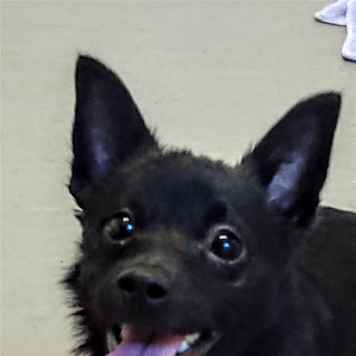 Angelo - Chihuahua Dog