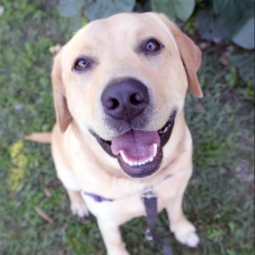 Storm - Labrador Retriever Dog