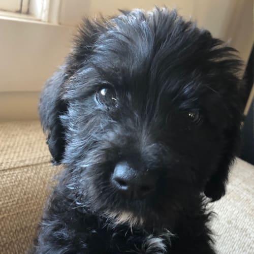 Harvey  - Poodle Dog