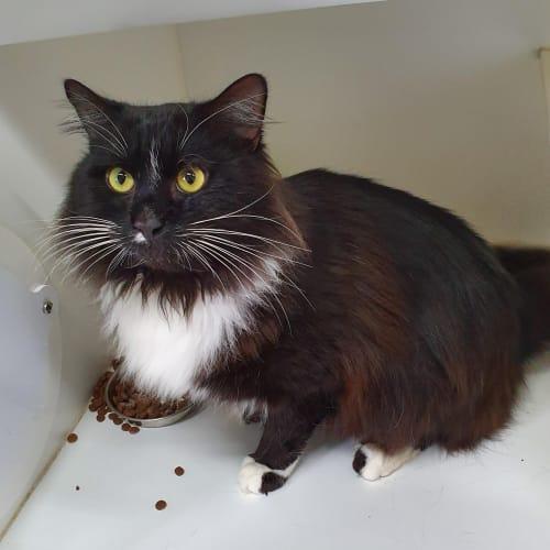 Otis  - Domestic Medium Hair Cat