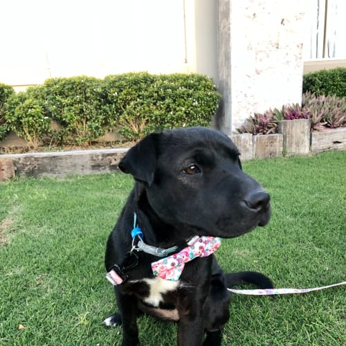 Bonnie - Labrador x Shar-Pei Dog