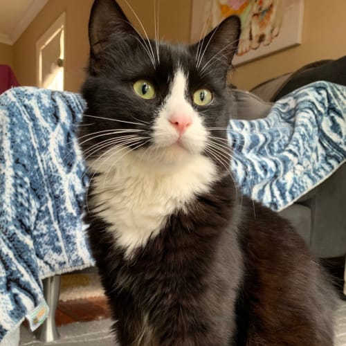 Zambi (Located in Bentleigh East) - Domestic Medium Hair Cat