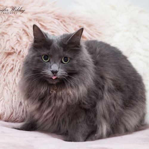 AK1932 - Pandora - Domestic Long Hair Cat
