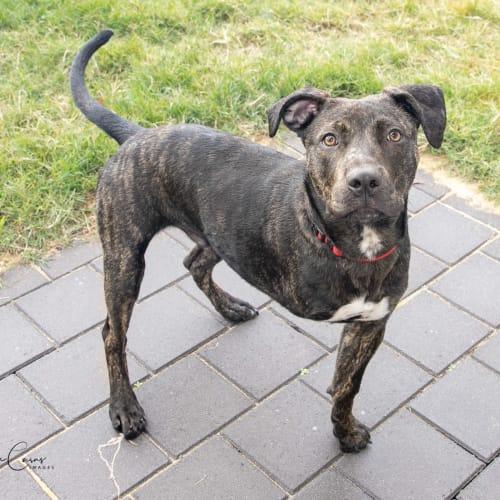 Quinn - Foster me - American Staffordshire Terrier x Bull Arab Dog