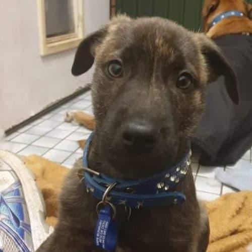 Rafiki - Bullmastiff x Whippet Dog