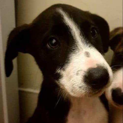 Shenzi - Bullmastiff x Whippet Dog