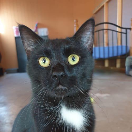 Prince Charming - Domestic Short Hair Cat