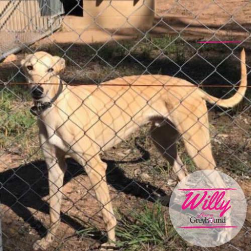 Willy & Johnny - Greyhound Dog