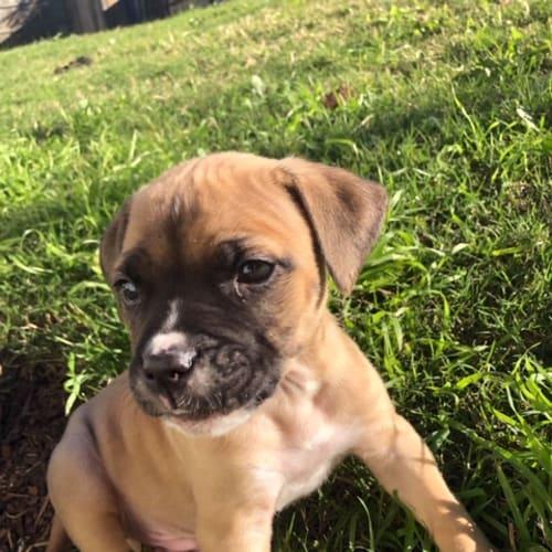 Jack  - American Bulldog x Staffy Dog