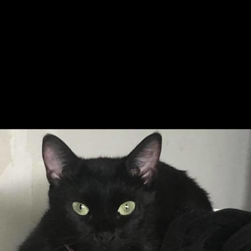 Akira - Domestic Short Hair Cat