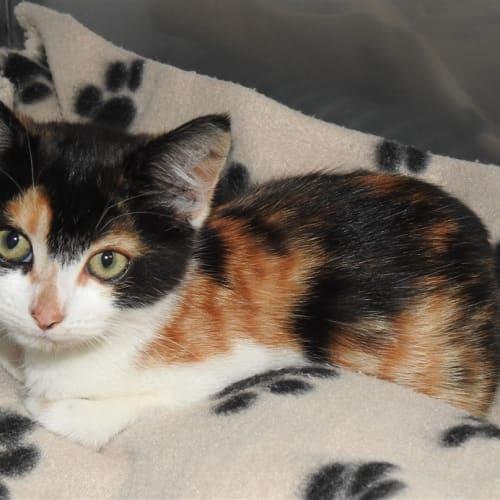 Bonnie - Domestic Short Hair Cat