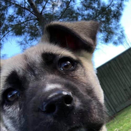 Macchiato - Siberian Husky Dog